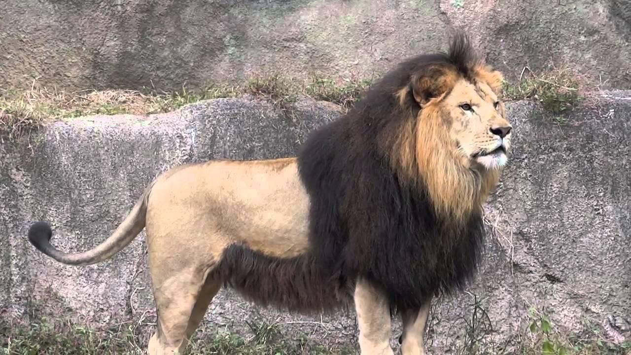 http://2.bp.blogspot.com/-IMBVBTPQzII/VfOEu5_501I/AAAAAAAAAsc/eF0FFL7wok4/s1600/Barbary-Lion-Photos.jpg