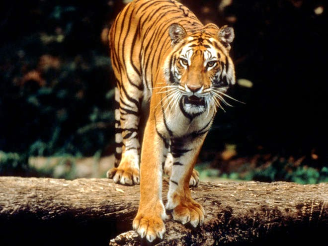 SEE MORE Tiger