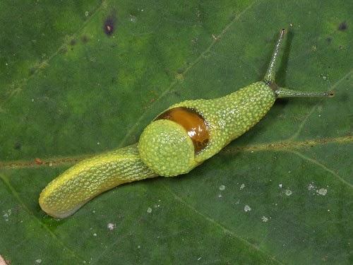 Babosa de cola larga o babosa ninja (Ibycus rachelae)