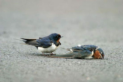 male bluebird finds mate dead