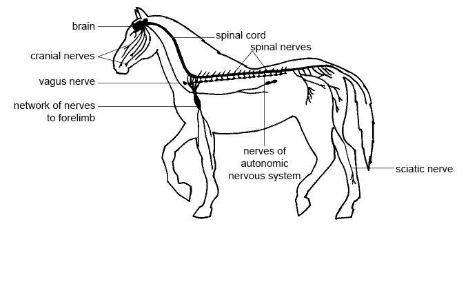 study of the nervous and endocrine systems of animals