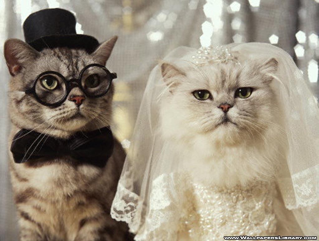 gambar hewan - foto kucing kawin