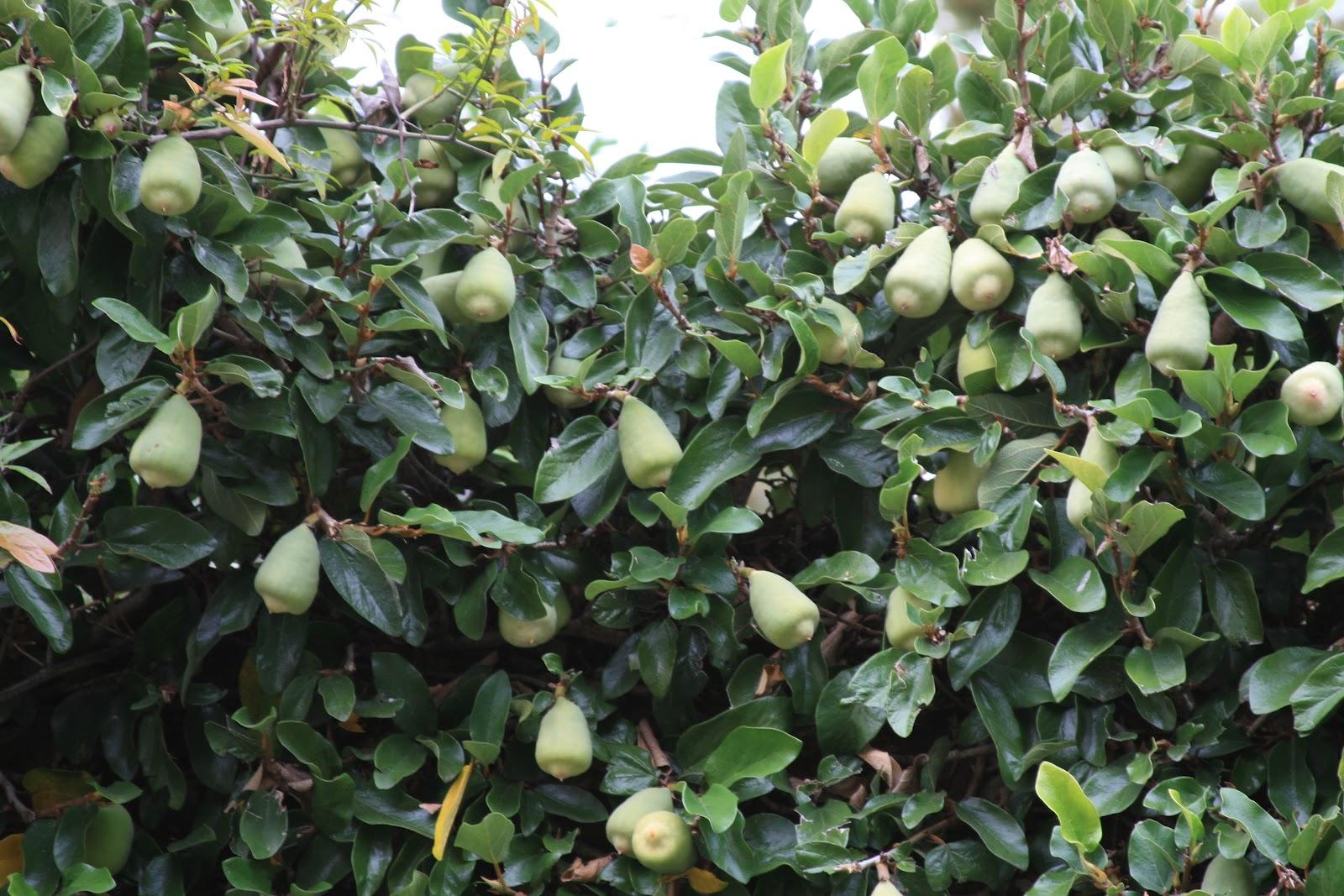 slides 43 46 creeping fig ficus pumila usda hardiness zones 8 11