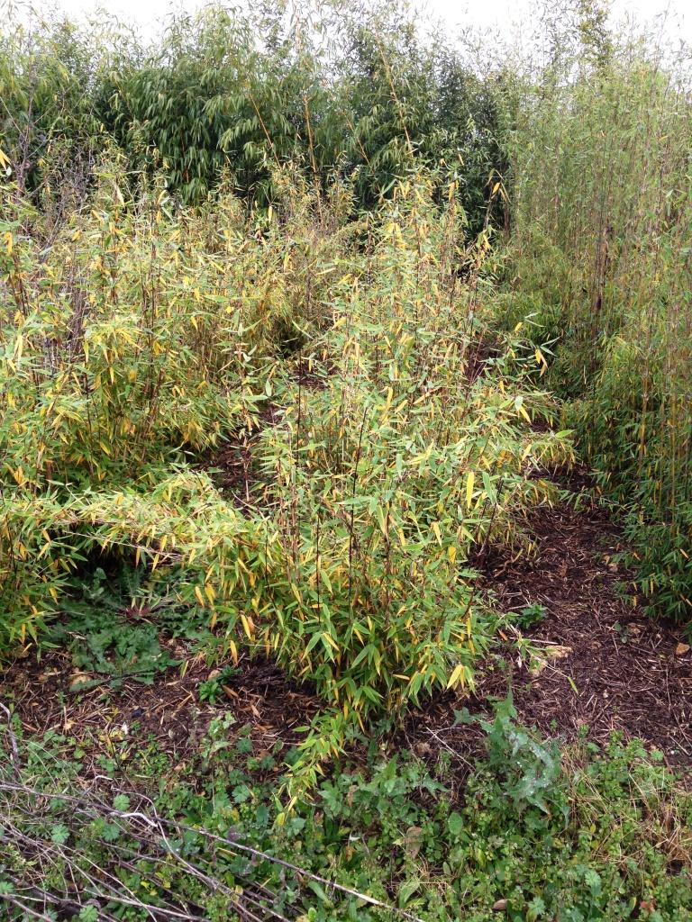 plantes vivaces et bambous: mes bambous jaunissent
