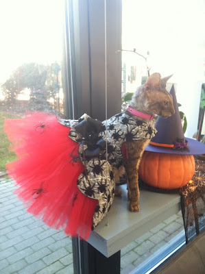 Kely the Cornish Rex in a Spidery Halloween Dress