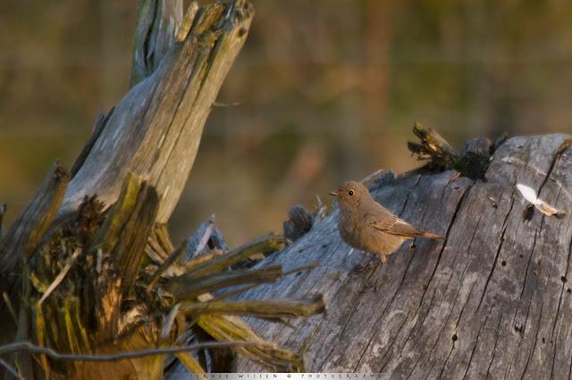Zwarte Roodstaart - Black Redstart - Phoenicurus ochruros (ad f)