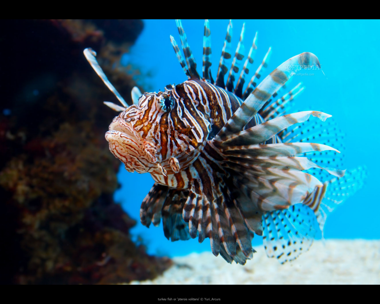 Lion fish fun animals wiki videos pictures stories for Are fish animals