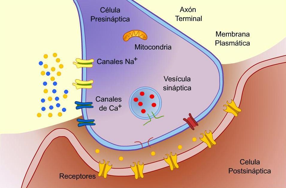Fisiologia : Mecanismos de la contracción muscular