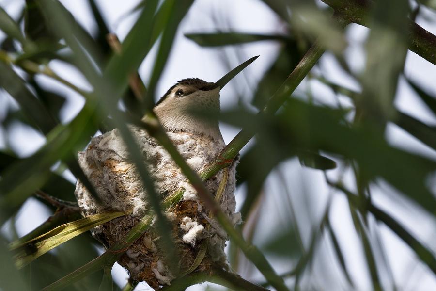 ¿Qué árboles frutales tropicales atraen a los colibríes? El Noni es Uno. ¿Cualquier otro?