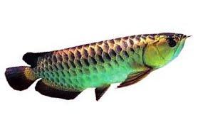 Klik gambar bawah - rahsia ternak arowana