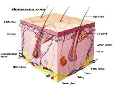 skin Excretory System Human Body