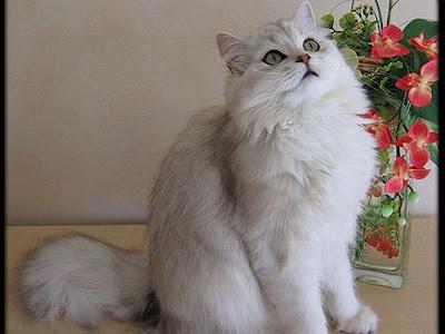 Gambar Kucing British Longhair