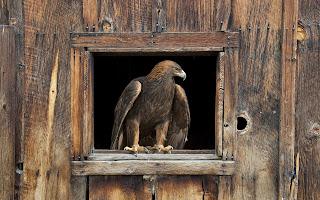 barn eagle (50)