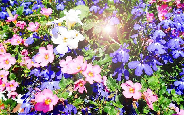 Foto met paarse en roze bloemen op een zomerse dag