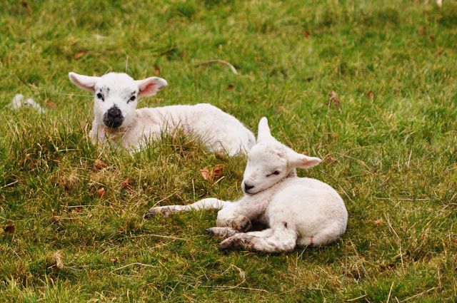 Yorkshire Lambs