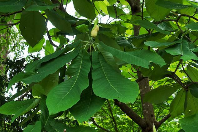 Big Leaf Trees Related Keywords Suggestions Big Leaf Trees Long