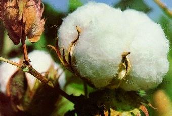 Cây bông - nguồn gốc vải sợi cotton