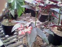 http://tanamanhiaszens.blogspot.com/