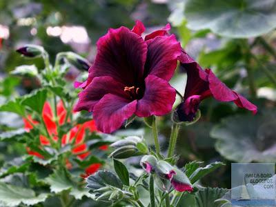 floare cyclam gradina botanica bucuresti