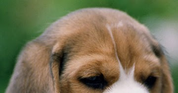 What Can You Give A Dog For Teething Pain