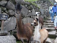 Camelidos en su hábitat...