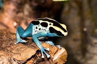 Funny Poison Dart Frog