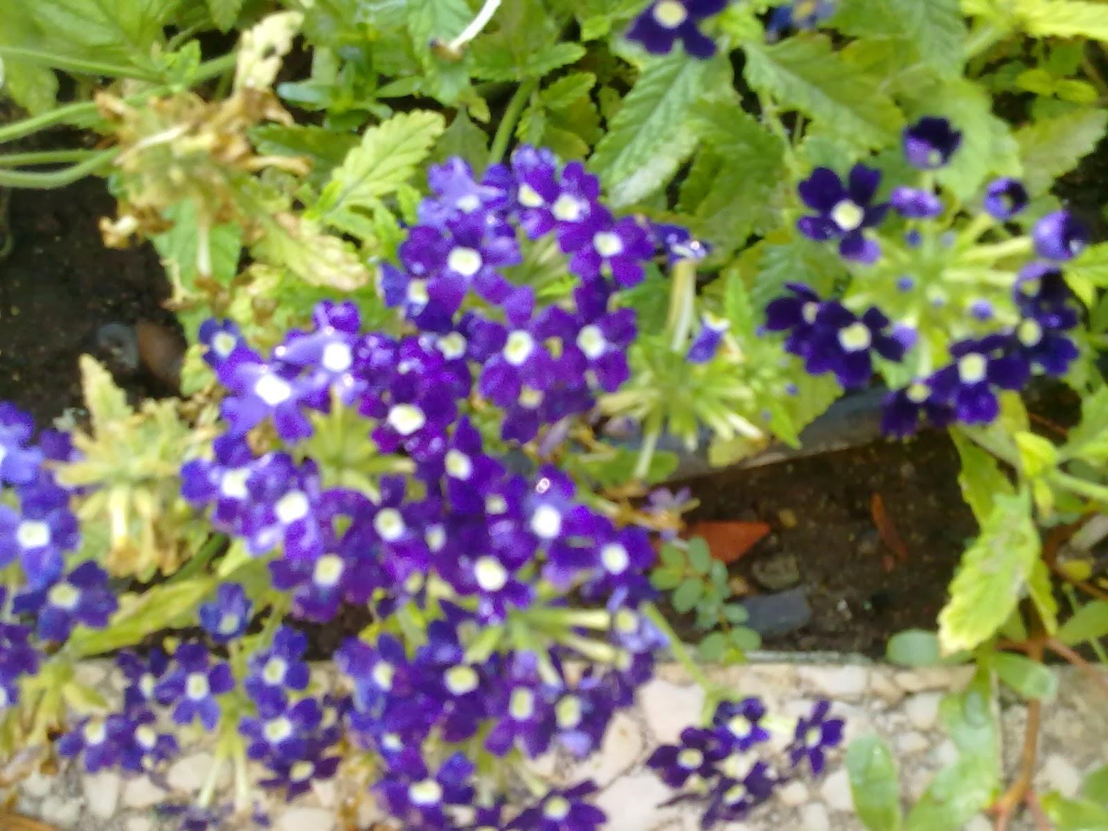 Flores para primavera y verano - Planta verbena cuidados ...