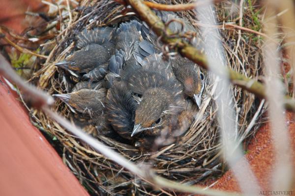 screw this, I'm outta here, aliciasivert, alicia sivertsson, blackbird, bird, nest, birdnest, bird nest, birds, chick, chicks, nestlings, nestling, squeaker, squeakers, baby bird, baby birds, fågelbo, koltrast, koltrastbo, koltrastungar, fågelungar, fågelunge, unge, ungar, vår