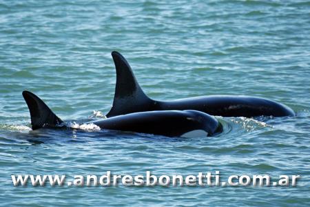 Orca de Península Valdés cazando un Elefante Marino - Killer Whale of Peninsula Valdes Hunting an Southern Elephant Seal - Patagonia - Andrés Bonetti