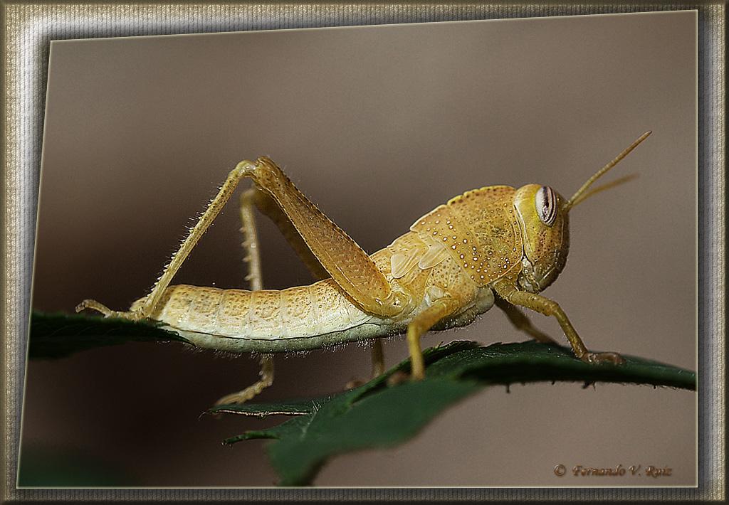 Imageness de los insectos de 4 patas segun la descripcion de Dios