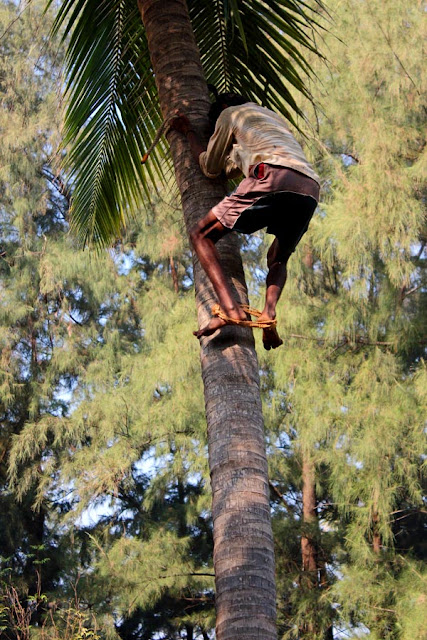 man climbing down a coconut tree