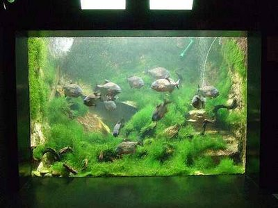 Piranha Fish Tank Piranha Fish Tank hd Wallpaper