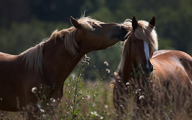 Two cuddling brown horses