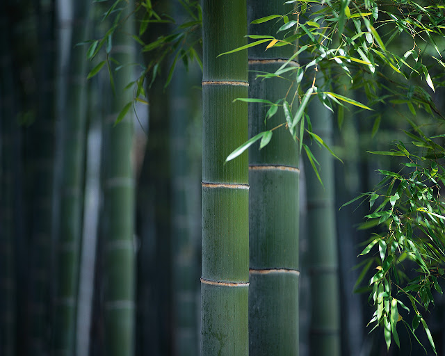 Bamboo Pictures4