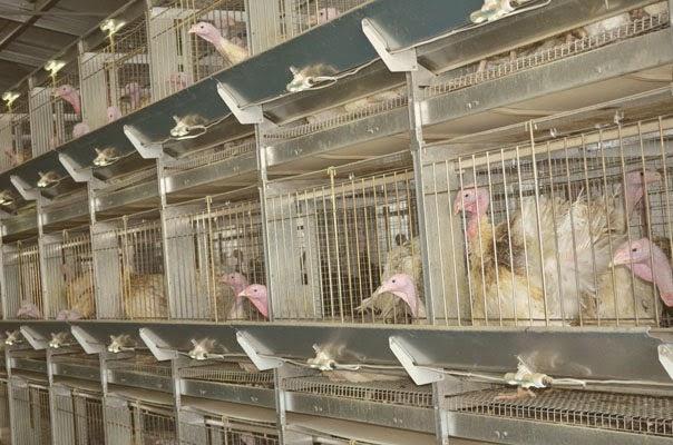Промышленные птицефабрики по разведению индеек