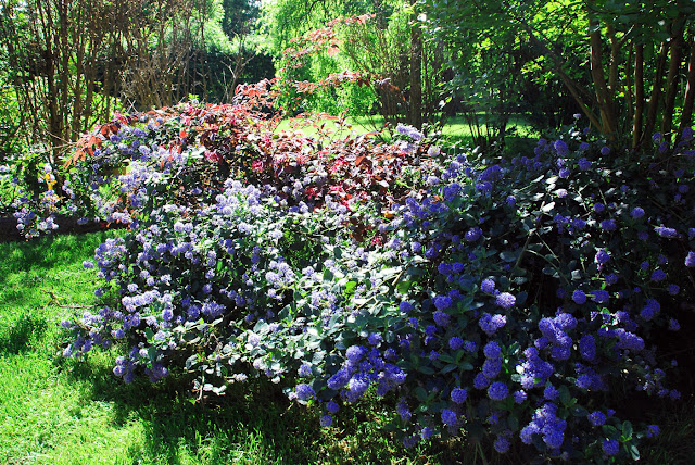 Il mondo in un giardino fiori di maggio for Cespugli fioriti per giardino