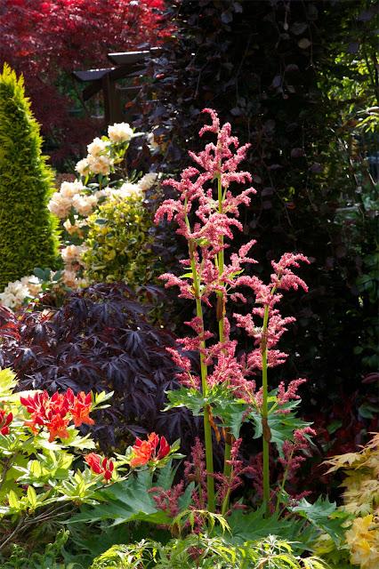 Flowers Rheum palmatum 'Tanguticum'