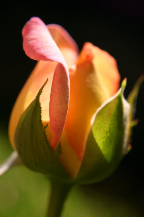 rose photo poems