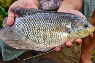 Penyakit Parastier Yang Menyerang Ikan Gurame