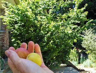 Two Apricots in Hand with Leaning Tree in Background