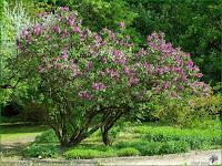 http://plantsgallery.blogspot.com/2013/11/syringa-vulgaris-mrs-edward-harding.html