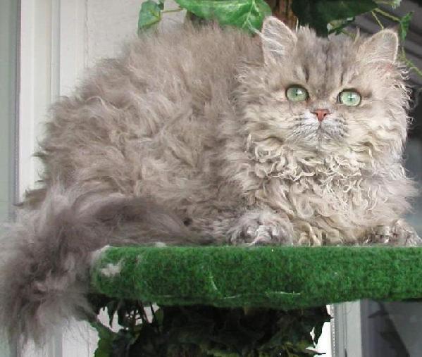 Selkirk Rex Cat Fun Animals Wiki Videos Pictures Stories