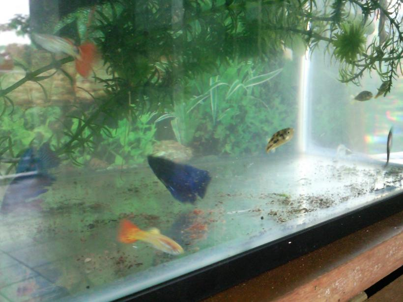 Bettas, Guppies Are Suitable For Outdoor