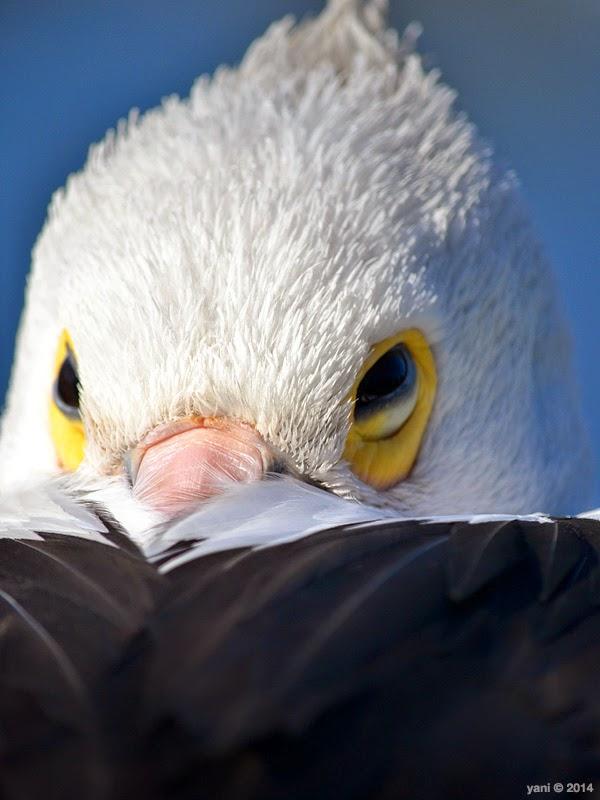 pelican dome