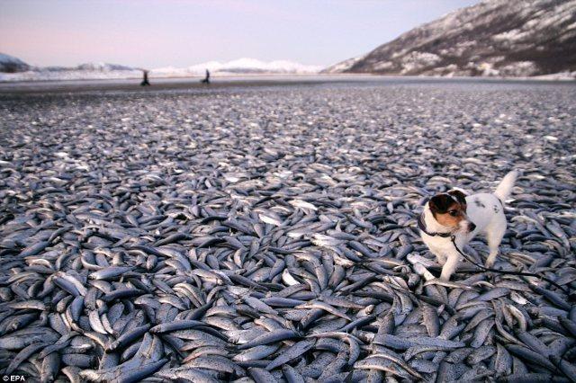 نتيجة بحث الصور عن الموت الغامض لسمك السردين