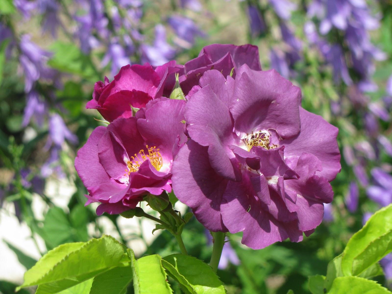 le jardin de v rone rosier rhapsody in blue. Black Bedroom Furniture Sets. Home Design Ideas