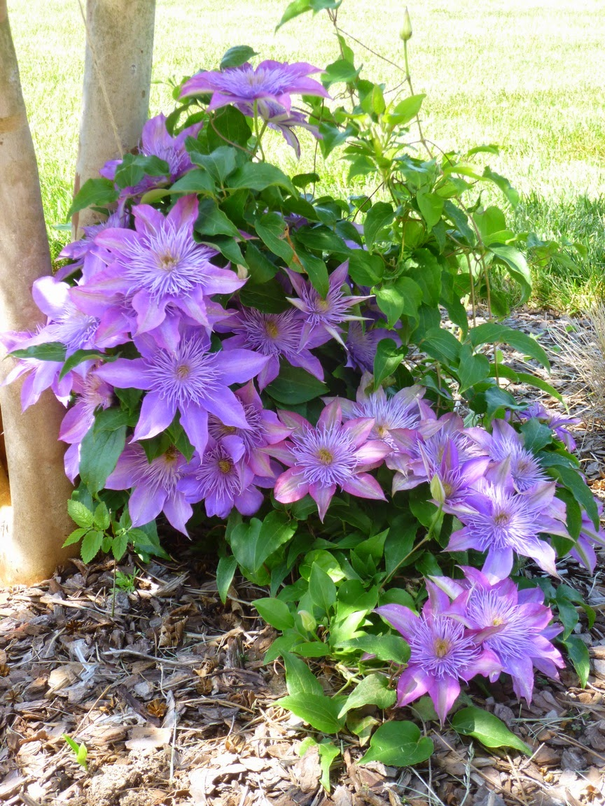 "Clematis ""Crystal Fountain"" in bloom"