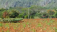 TOBACCO FIELDS VINALES VALLEY