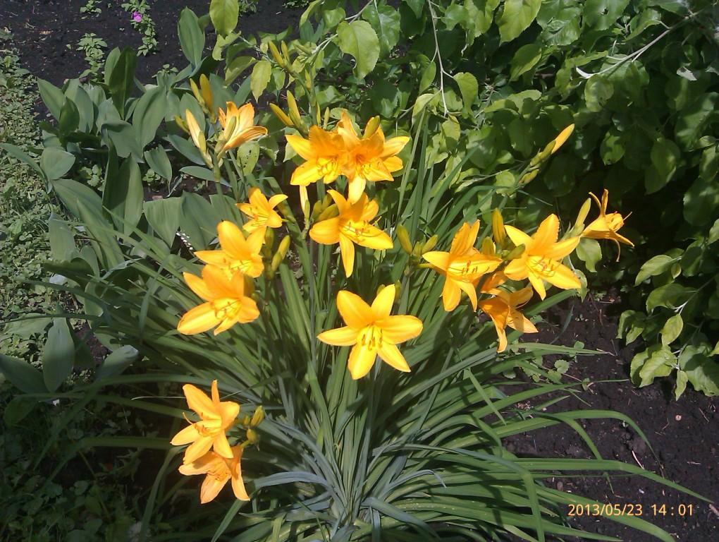 Лилейник садовые цветы 52
