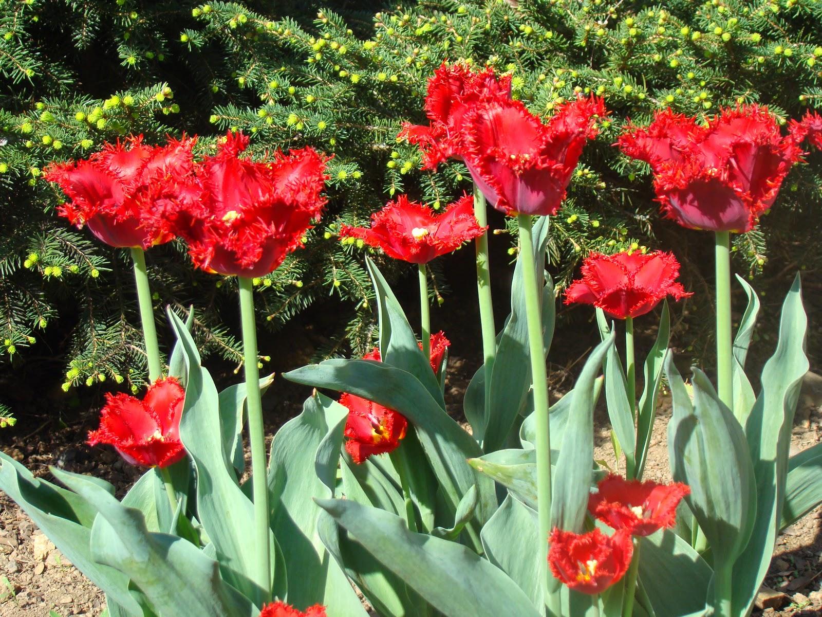 Tulipe dentelée Valéry gergiew